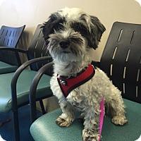 Adopt A Pet :: Bows - Las Vegas, NV