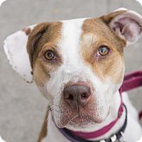 Adopt A Pet :: Tiki - Brooklyn, NY
