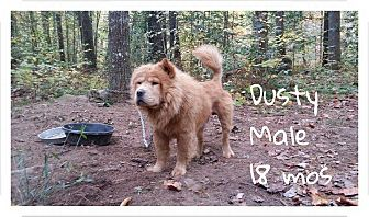 Chow Chow Dog for adoption in Dix Hills, New York - DUSTY
