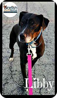 Boxer/Labrador Retriever Mix Dog for adoption in Plainfield, Illinois - Libby