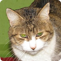 Domestic Shorthair Cat for adoption in Woodstock, Illinois - Queenie