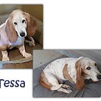 Basset Hound Dog for adoption in Marietta, Georgia - Tessa