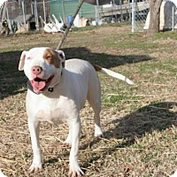 American Bulldog/Pointer Mix Dog for adoption in Kittery, Maine - Sallie Mae *Smart & Trained*