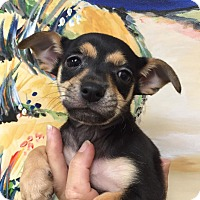 Adopt A Pet :: Ashton - Ft. Lauderdale, FL
