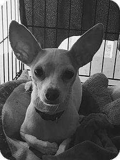 Chihuahua Dog for adoption in Cedar, Minnesota - Rusty