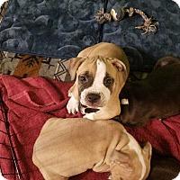 Adopt A Pet :: Tank - Livermore, CA
