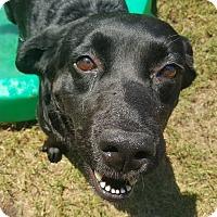 Labrador Retriever Mix Dog for adoption in Mount Pleasant, South Carolina - Queenie