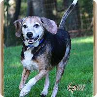 Beagle Mix Dog for adoption in Shippenville, Pennsylvania - Gus