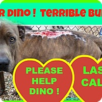 Staffordshire Bull Terrier Dog for adoption in HIALEAH, Florida - Dino
