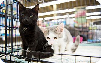 Domestic Shorthair Kitten for adoption in Baltimore, Maryland - .Lilly