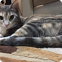 Domestic Shorthair Cat for adoption in Fairfax, Virginia - Tucker Girl Kittens