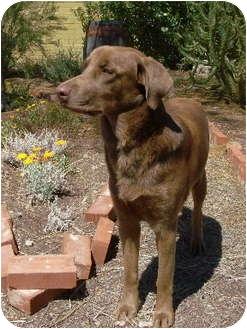 Chesapeake Bay Retriever/Golden Retriever Mix Puppy for adoption in Litchfield Park, Arizona - Dougie