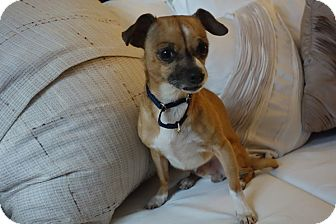 Chihuahua Mix Dog for adoption in Long Beach, New York - Boo