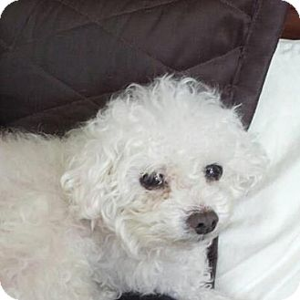 Poodle (Toy or Tea Cup) Dog for adoption in Ogden, Utah - Kai
