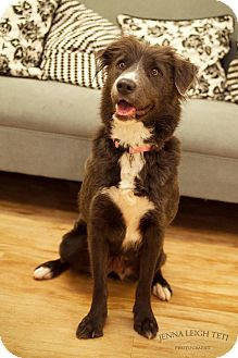 Scottish Deerhound/Irish Wolfhound Mix Dog for adoption in Jersey City, New Jersey - Sophia Loren