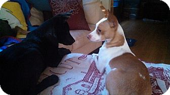 Chihuahua/Basenji Mix Dog for adption in Milwaukee, Wisconsin - Roland