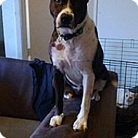 Adopt A Pet :: Molly- courtesy post - Scottsdale, AZ