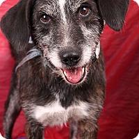 Adopt A Pet :: Austin Airedalemix - St. Louis, MO
