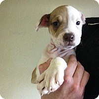 Adopt A Pet :: MILEY Litter- Piglet - Pompton lakes, NJ
