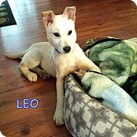Adopt A Pet :: Leo - Groton, MA