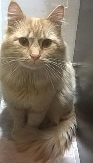 Maine Coon Cat for adoption in Laconia, Indiana - Sebastian