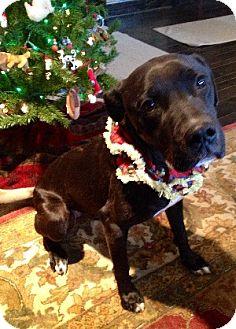 Labrador Retriever Mix Dog for adoption in Savannah, Missouri - Maddux