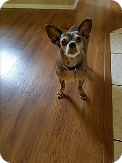 Chihuahua Mix Dog for adoption in Monrovia, California - Gracie