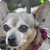 Adopt A Pet :: Jerry - St Louis, MO