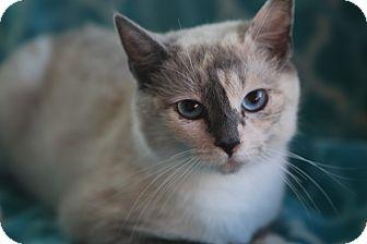 Siamese Cat for adoption in Allentown, Pennsylvania - Tsunami Reduced