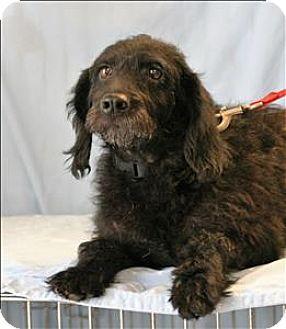Boykin Spaniel Mix Dog for adoption in Charlottesville, Virginia - Lolly