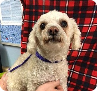 Miniature Poodle Mix Dog for adoption in The Dalles, Oregon - Randy