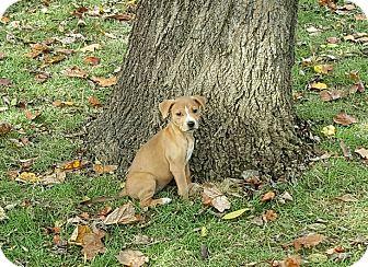 Feist/Feist Mix Puppy for adoption in Byhalia, Mississippi - Bella Boo (BB)