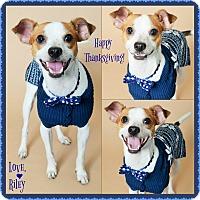 Jack Russell Terrier/Italian Greyhound Mix Dog for adoption in Phoenix, Arizona - Riley