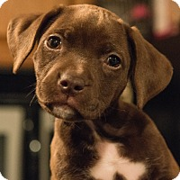 Adopt A Pet :: Fig - Bristol, CT