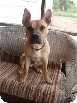 French Bulldog/Boxer Mix Dog for adoption in Arlington, Virginia - Chance