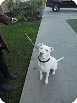 Staffordshire Bull Terrier/American Bulldog Mix Dog for adoption in Valley Village, California - HONEY BEAR