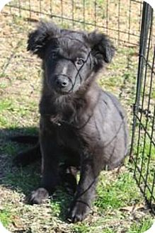 Australian Shepherd Mix Puppy for adoption in Crystal Springs, Mississippi - Ace