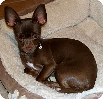 Chihuahua Dog for adoption in AUSTIN, Texas - TOOTSIE