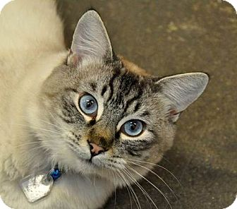 Siamese Cat for adoption in Davis, California - Milo