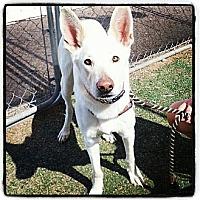 Adopt A Pet :: Yeti - Scottsdale, AZ