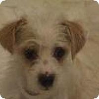 Adopt A Pet :: Mishka - tiny cutie! - Phoenix, AZ