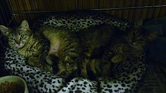 Domestic Longhair Cat for adoption in Centerton, Arkansas - Fluff