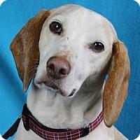Adopt A Pet :: Harvey - Minneapolis, MN
