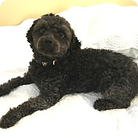 Adopt A Pet :: Oscar - Mt. Prospect, IL