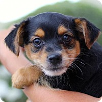 Adopt A Pet :: Three Musketeers Puppies - Male - San Diego, CA