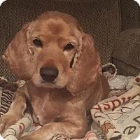 Adopt A Pet :: Bono - Sparta, NJ
