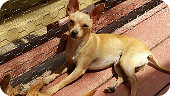 Chihuahua Dog for adoption in Cranford, New Jersey - Stitch