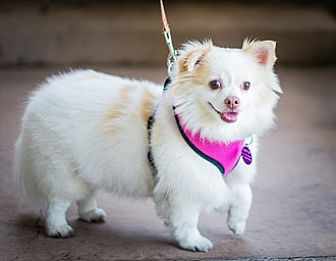 Chihuahua/Spaniel (Unknown Type) Mix Dog for adoption in Fremont, California - Nellie D5118 (was D2617