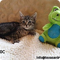 American Shorthair Cat for adoption in Spring, Texas - Greg