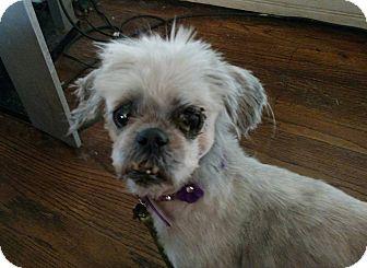 Shih Tzu Mix Dog for adoption in Detroit, Michigan - Renee-Adopted!